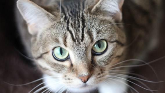 Kot mruczy tylko, gdy jest szczęśliwy? To jeden z największych mitów o tych zwierzętach