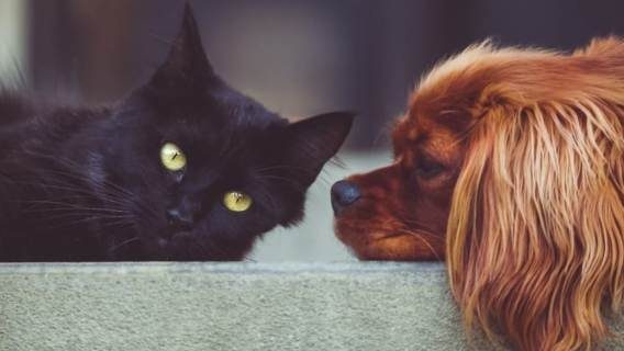 Pies kot krzyżówka