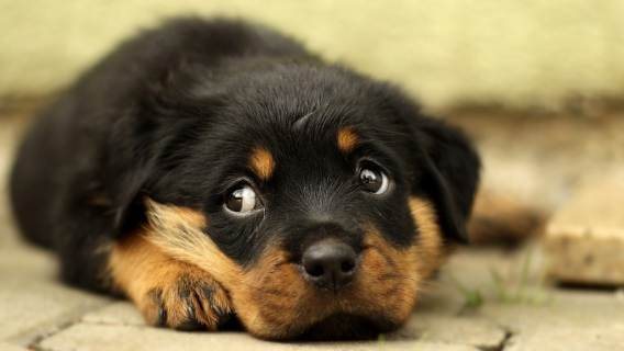 Psy które nie szczekają