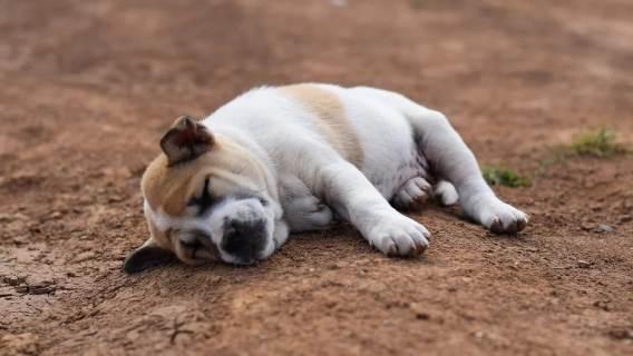 Czy psy mają sny? Fakty mogą się okazać zaskakujące