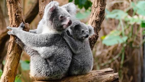 'Koala funkcjonalnie wymarły'. Alarmistyczne doniesienia obiegły media, jaka jest prawda?