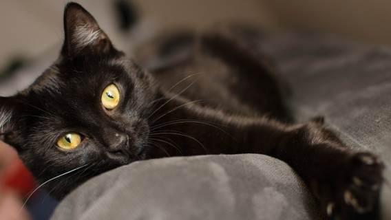 Sprawdzono, ilu Polaków wierzy, że czarny kot przynosi pecha. Wyniki mogą zadziwiać, to wciąż bardzo popularny przesąd