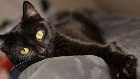 Kot czarny pech